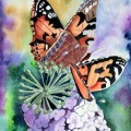 Butterflies on Painted Lady