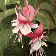 Fuchsia Collingwood