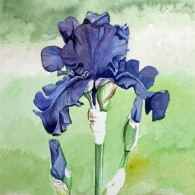 Iris Dusty Challenger
