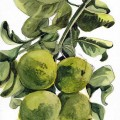 Lemon Tree Paphos
